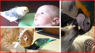Смотреть самые смешные поющие попугаи! (видео 2017 #2) видео приколы