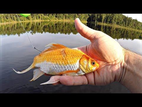 Store bass på levende guldfisk i Alabama