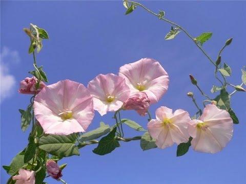 Красивый цветок. Цветы-вьюны. Кленик, белый вьюн