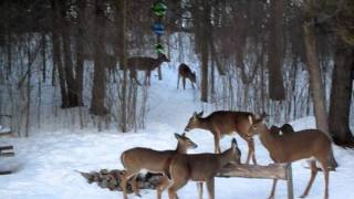 White Tail Deer At Our Home Feeder