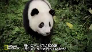 ナショジオ「ジャイアントパンダ〜自然にかえる〜」より