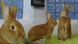 Лучшие качества Бургундского кролика