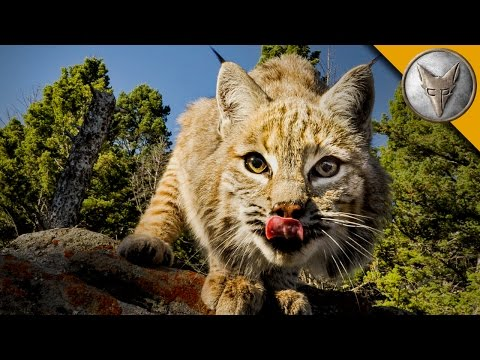 The Bobcat is One Spring Loaded Predator!