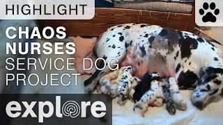 Chaos Nurses Her Litter - Service Dog Project - Live Cam Highlight