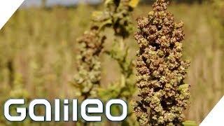 Superfood aus Deutschland: Wie gesund ist Quinoa? | Galileo | ProSieben