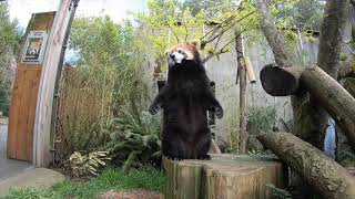 Red Pandas Cronch Their Way Through Bamboo