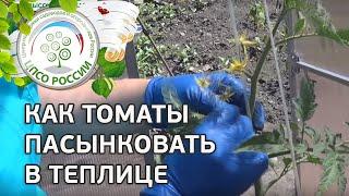 Как формировать томаты в теплице видео