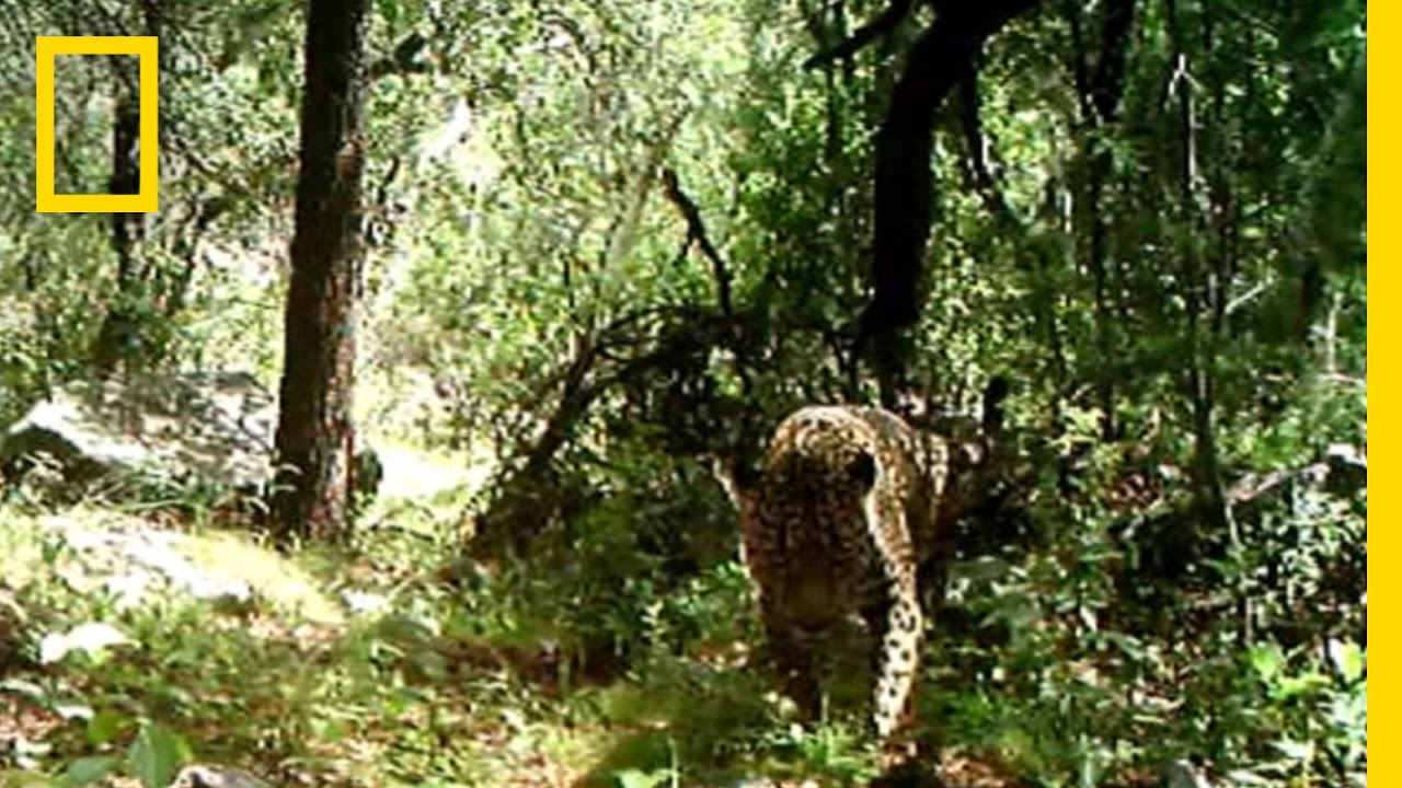 Rare Video: Only Known Wild Jaguar in the U.S. Filmed | National Geographic thumbnail