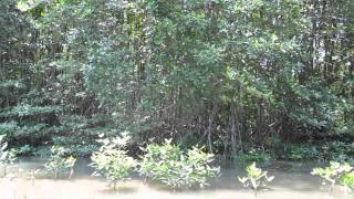 カンザー・マングローブの森