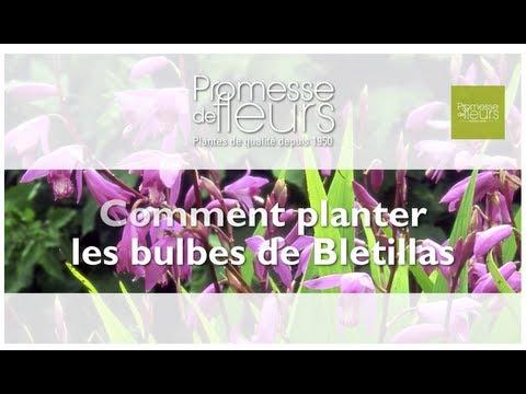 Planter des Orchidée rustiques : les Bletillas