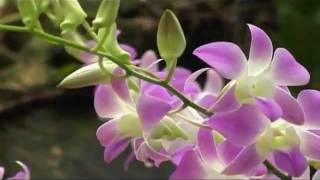 Download Video Ketakichya Bani Tithe Nachla Ga More - Suman Kalyanpur MP3 3GP MP4