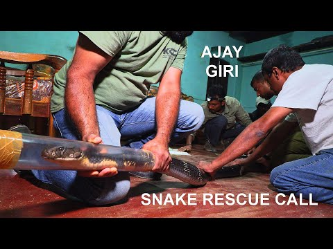 Ajay Giri rescues a big King cobra in Agumbe (India), filmed by Living Zoology, Snake Rescue Call