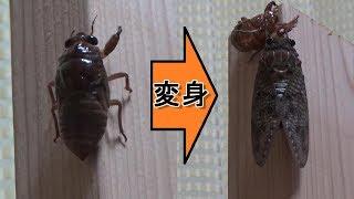 視聴注意生命の神秘アブラゼミの羽化シーン~幼虫から成虫へ蝉の変態~