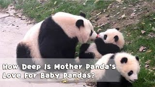 How Deep Is Mother Panda's Love For Baby Pandas? | iPanda