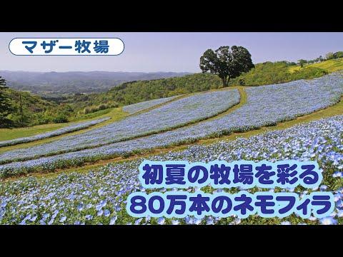 満開のネモフィラの花畑(2021)