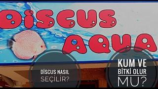 Discus nasıl seçilir? Discus Akvaryumunda Kum ve Bitki Olur Mu?