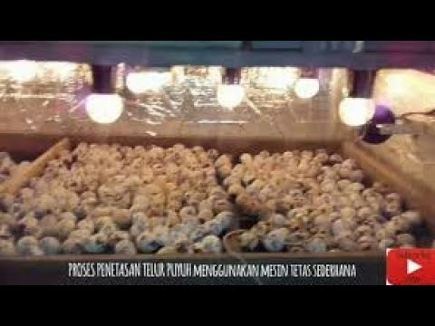 Video Cara Menetaskan Telur Puyuh / Quail eggs hatching process