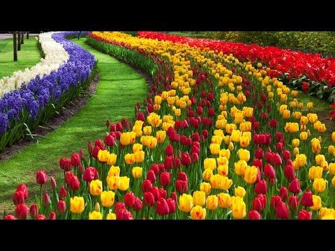 , title : 'مزارع الزهور في هولندا