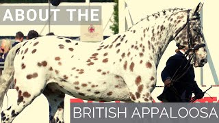 About The British Appaloosa | Horse Breeds |