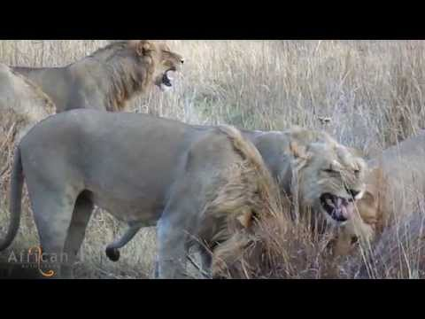 An incredible video taken by Professional Guide, Partner, at Khwai Tented Camp in the Khwai Community Area, Okavango Delta, Botswana. It shows the striking image of how lions use flehmen to detect a scent in a certain area, beautifully described by Partner.