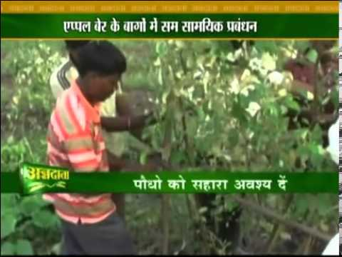 Tips on apple berry cultivation