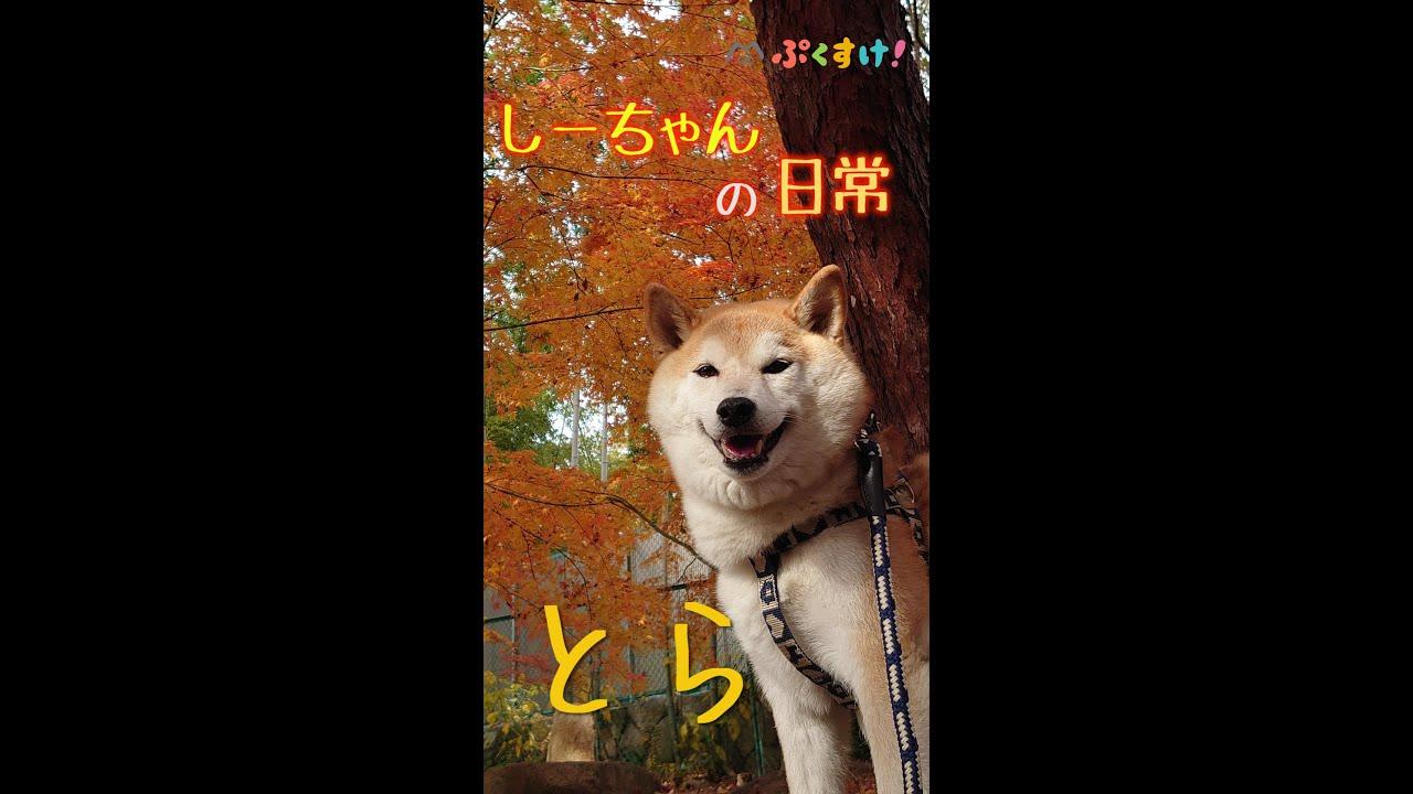 柴犬しーちゃんの日常/とら