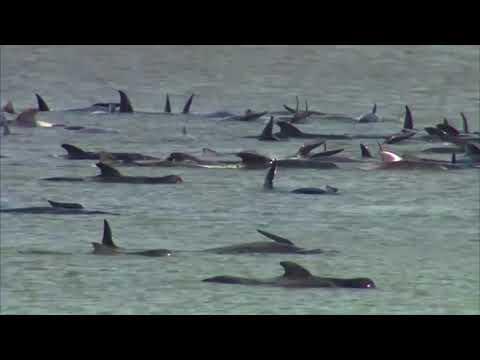 Δραματική επιχείρηση διάσωσης στην Αυστραλία: Δεκάδες φάλαινες έχουν παγιδευτεί