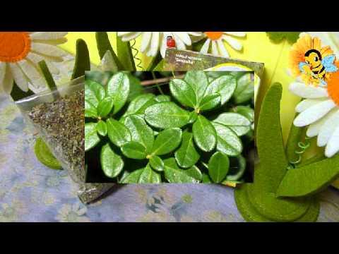 Листья брусники или рецепт неограниченного здоровья