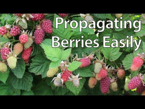 How to Propagate Blackberries