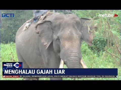 Menghalau 6 Gajah Liar di Perkampungan Warga, BBKSDA Riau Keluarkan 2 Gajah Jinak - SIM 12/06
