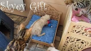 бенгальская кошка, бенгальский котенок, шикарные кошки