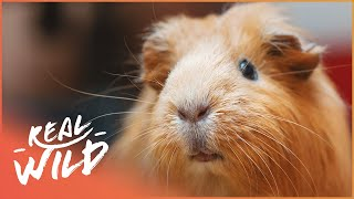 A Guinness World Record Holding Guinea Pig! | Wild Things Shorts