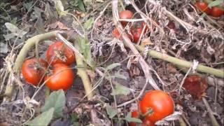 На  поливное поле  за  помидорами