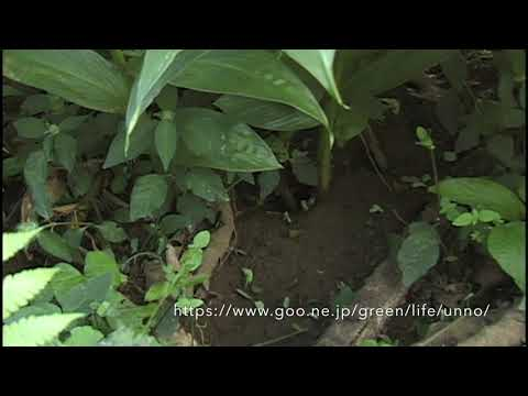 ハキリアリの生活 The Life of Leafcutter ant