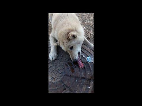 Спасение собаки, примерзшей языком к люку