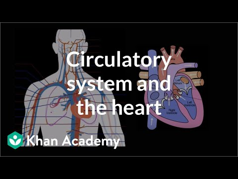 Circulatory system and the heart (video) Khan Academy