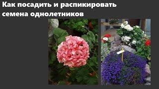 Посадка семян и пикировка лобелии, бальзамина, пеларгонии и других однолетников.
