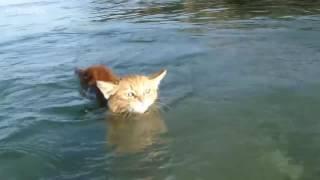 Sudan Hoşlanan Kediler