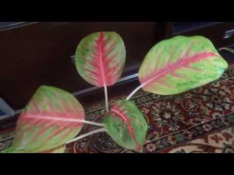 Комнатные цветы/растения. Аглаонемы в моем домашнем садике. (красно-розовые)