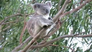 Pinky comes to Koala Gardens