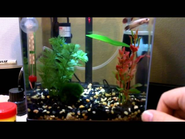 Tetra 1.5 gallon tank with bettas and ghost shrimp
