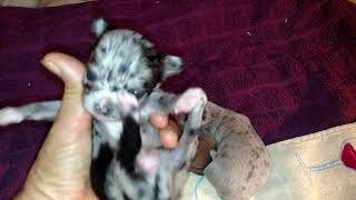 3 week old Chihuahua puppies teacups