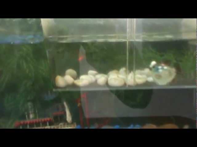 peces coridora, tetra limon, guramy,platy, molly  y otros