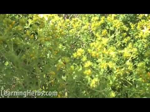 St. Johns Wort: Hypericum Perforatum