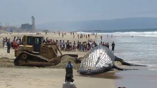 PT 2 - Moving The Beached Humpback Whale At Dockwiler Beach 7/1/16