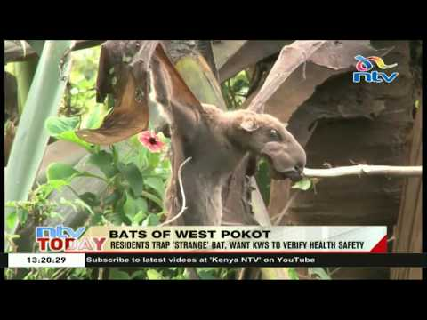 West Pokot residents trap 'strange' bat, want KWS to verify health safety
