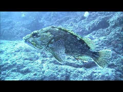 水中映像:カサゴ