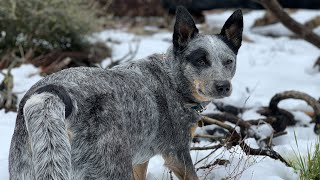 AUSTRALIAN CATTLE DOGS- CRAZY CATTLE DOGS? Or NOT? AUSTRALIAN CATTLE DOG