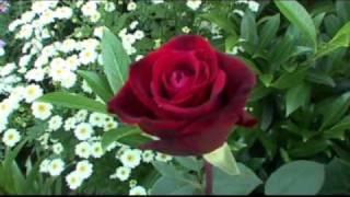 Noc růží
