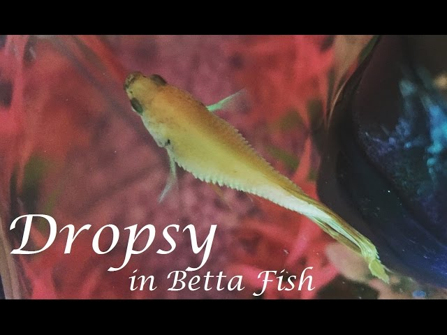 Dropsy in Betta Fish | Symptoms, Prevention, Life Expectancy, & More